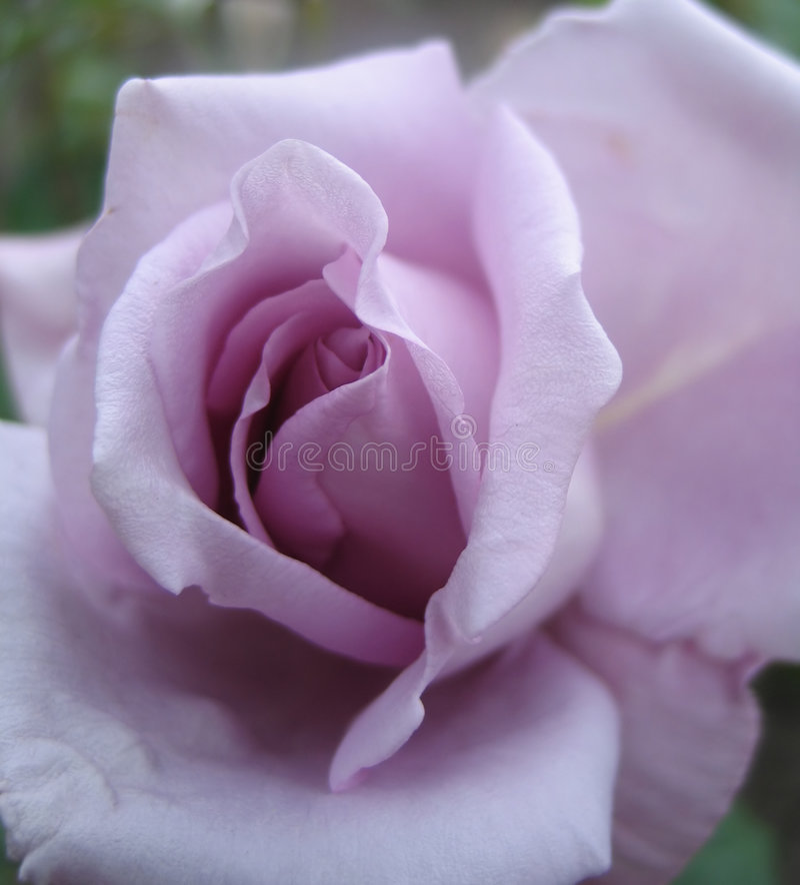O Lilac levantou-se fotografia de stock royalty free