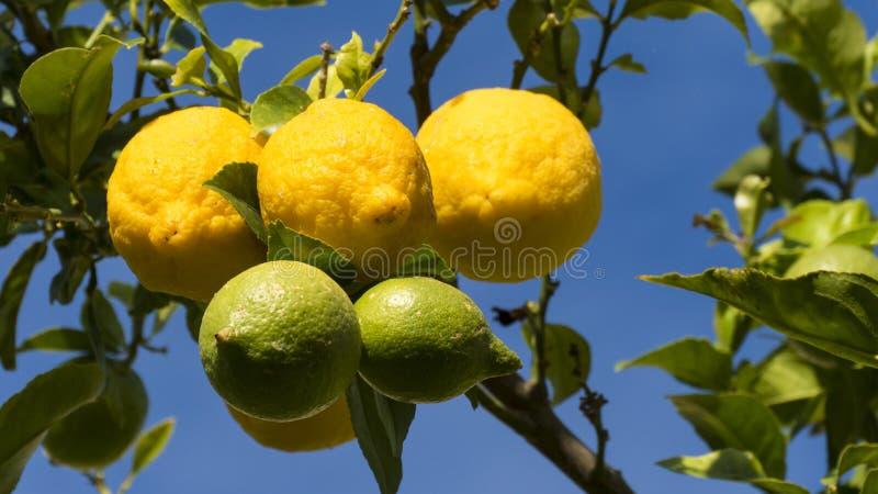O limão colore a árvore fotos de stock