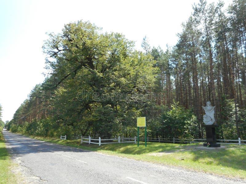 O Linden o mais velho no moinho do cordata do Tilia de Ucrânia , Árvore de Linden do ` s de Khmelnytsky imagens de stock royalty free