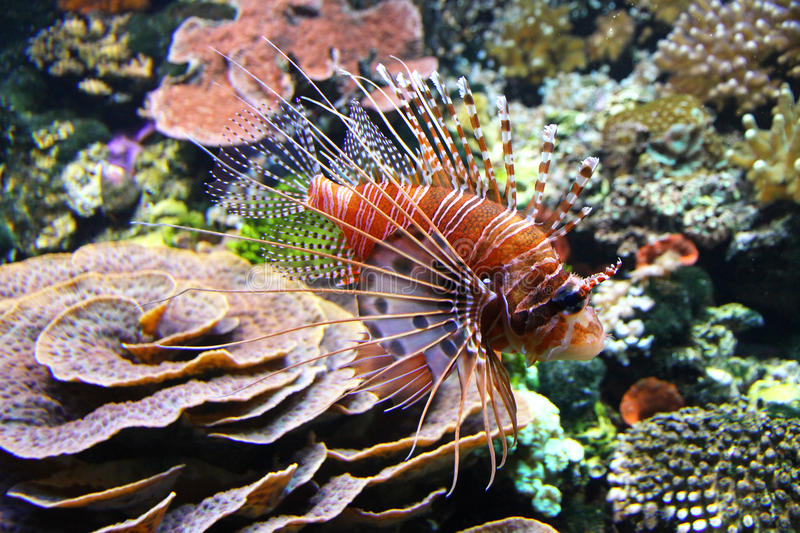 O lionfish vermelho (volitans do Pterois) fotos de stock royalty free