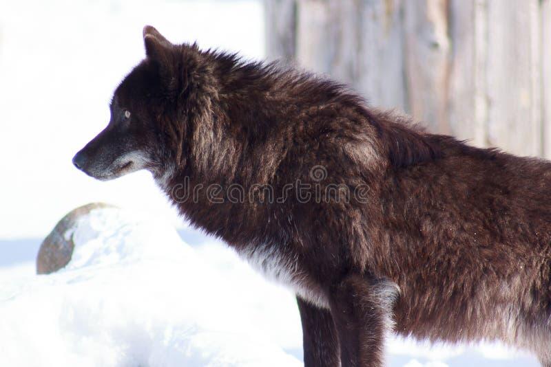 O lobo canadense preto novo olha para fora para sua rapina fotos de stock