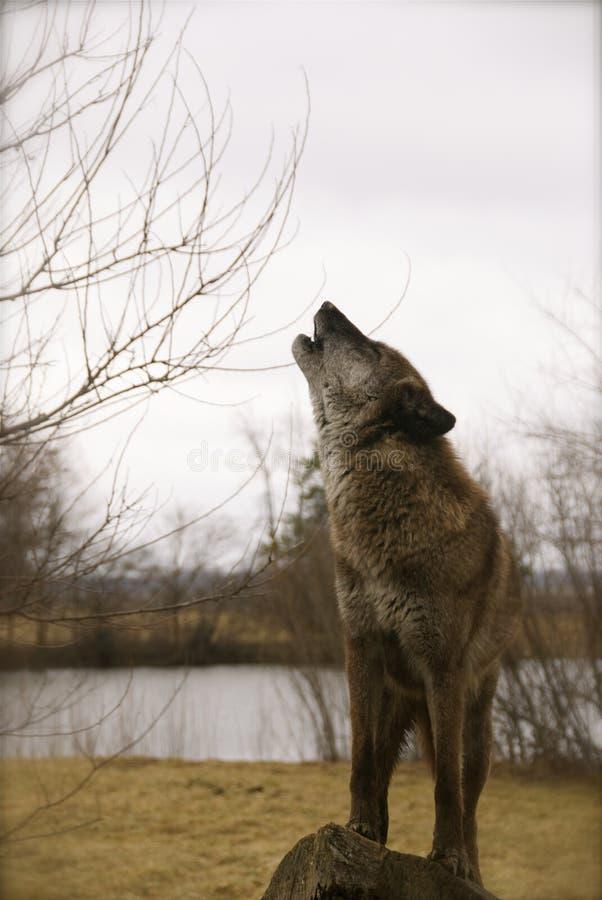 Lobo do urro imagens de stock