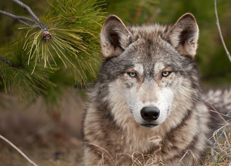 O lobo de madeira intenso (lúpus de Canis) senta-se sob o pinho foto de stock royalty free