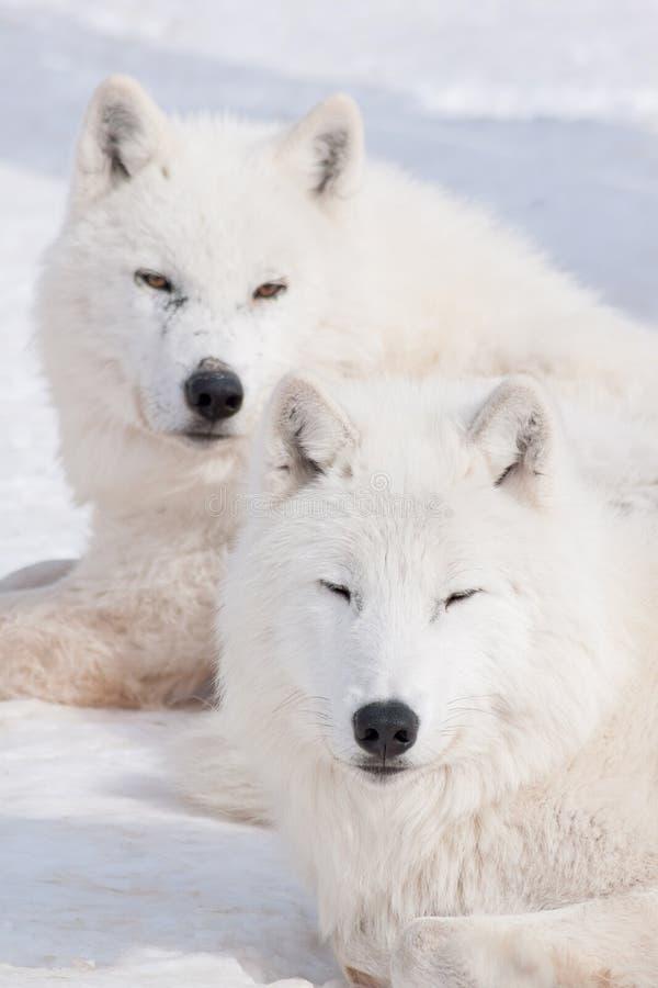 O lobo dois ártico selvagem está encontrando-se na neve branca Arctos do lúpus de Canis Lobo polar ou lobo branco fotografia de stock royalty free