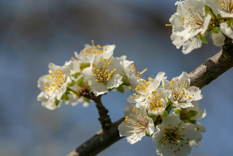 O lote de flores vermelhas marmelo japon?s ou japonica do Chaenomeles cobriu ramos no fundo borrado do jardim Dia ensolarado da m fotografia de stock royalty free