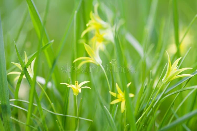 O lutea pequeno de Gagea floresce, fundo fresco da grama Família de lírio amarela da mola da estrela de Belém Erva constante, pri fotos de stock royalty free