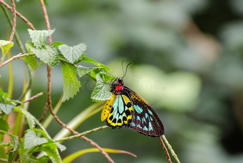 O Lycaenidae é a segundo-grande família das borboletas Console de Mainau foto de stock royalty free