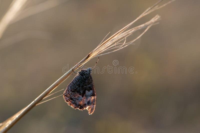 O lycaon de Hyponephele da borboleta senta-se em uma lâmina de grama no prado imagens de stock