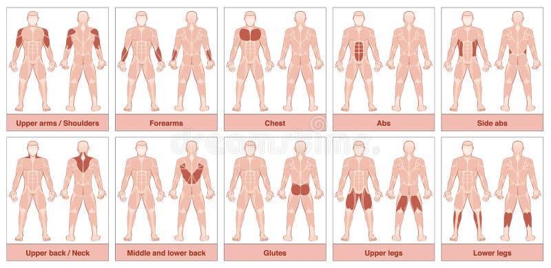 O músculo agrupa a carta ilustração stock