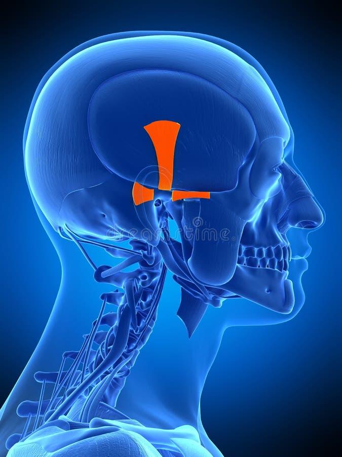 O músculo auricular ilustração stock