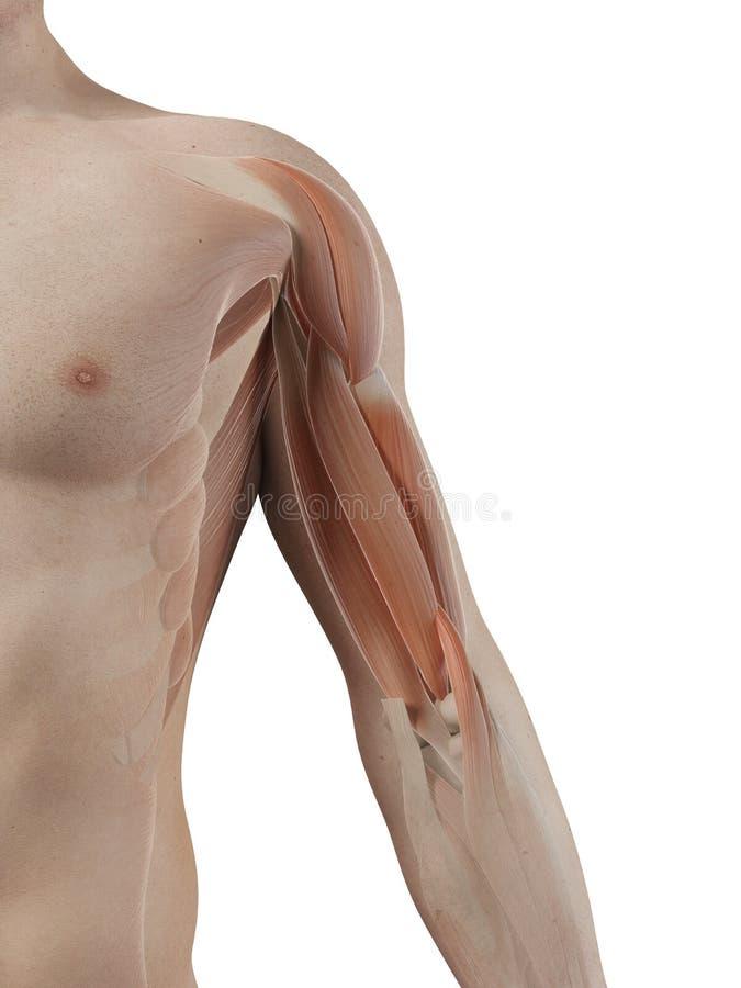 O músculo do bíceps ilustração royalty free