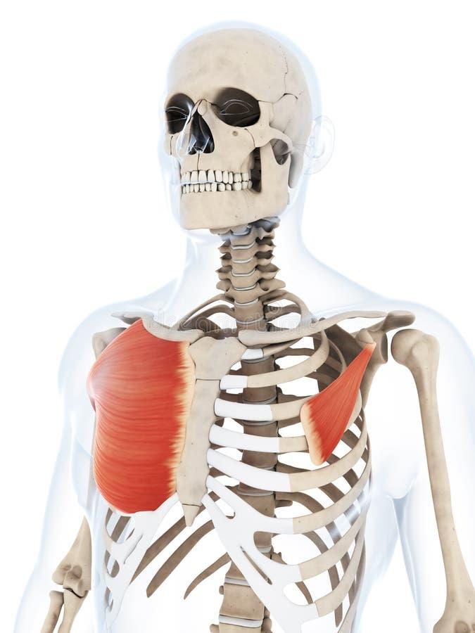 O músculo pequeno e grande do peito ilustração do vetor