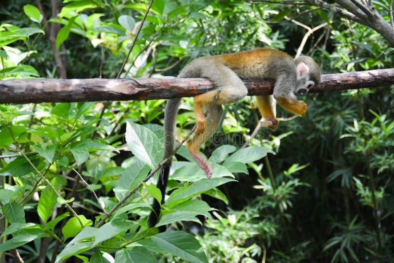 O macaco foto de stock