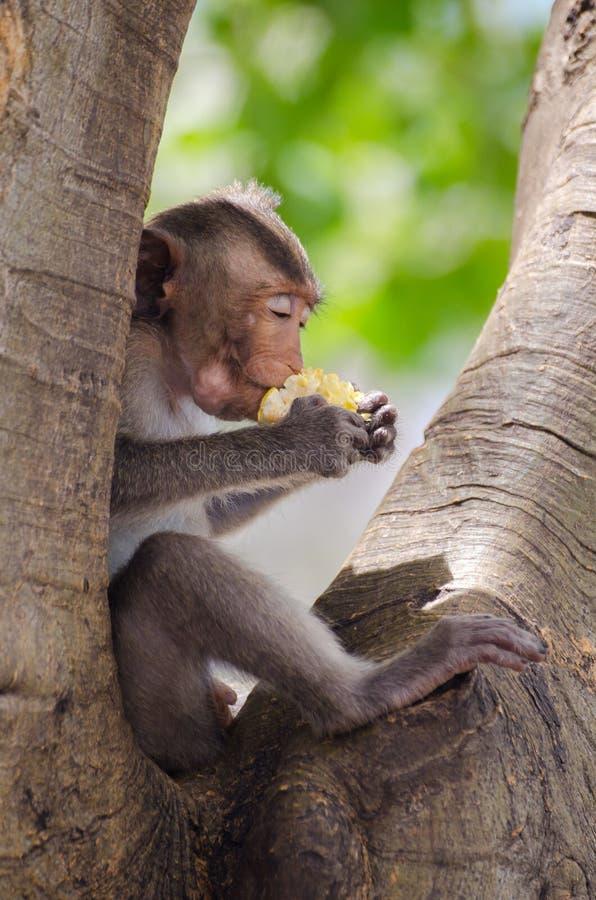 O macaco aprecia comer fotografia de stock