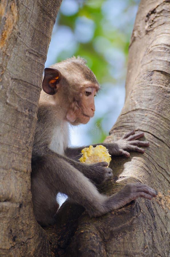 O macaco aprecia comer fotografia de stock royalty free