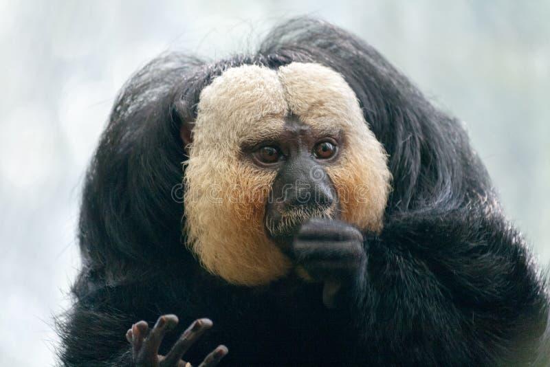 O macaco branco-enfrentado do pithecia do Pithecia do saki imagem de stock royalty free