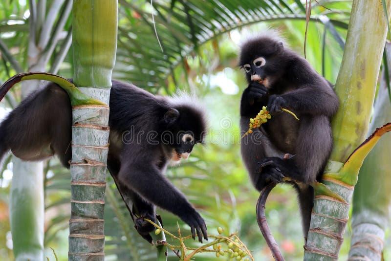 O macaco da folha ou o langur obscuro, animais selvagens estão comendo o fruto ou sejam imagem de stock royalty free