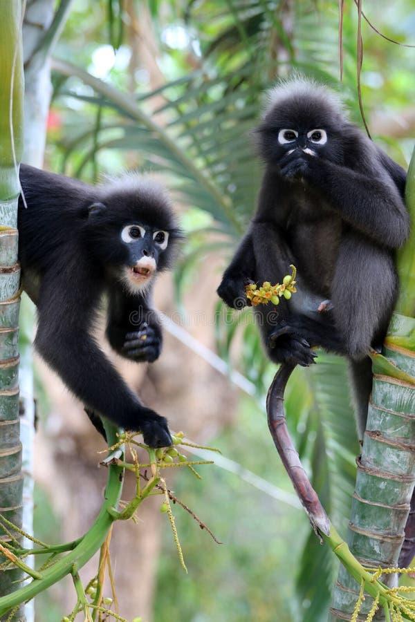 O macaco da folha ou o langur obscuro, animais selvagens estão comendo o fruto ou sejam foto de stock