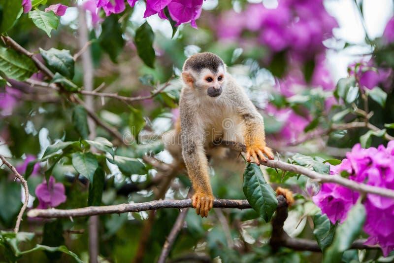 O macaco de esquilo e as flores cor-de-rosa O macaco de esquilo comum (sciureus do Saimiri) foto de stock