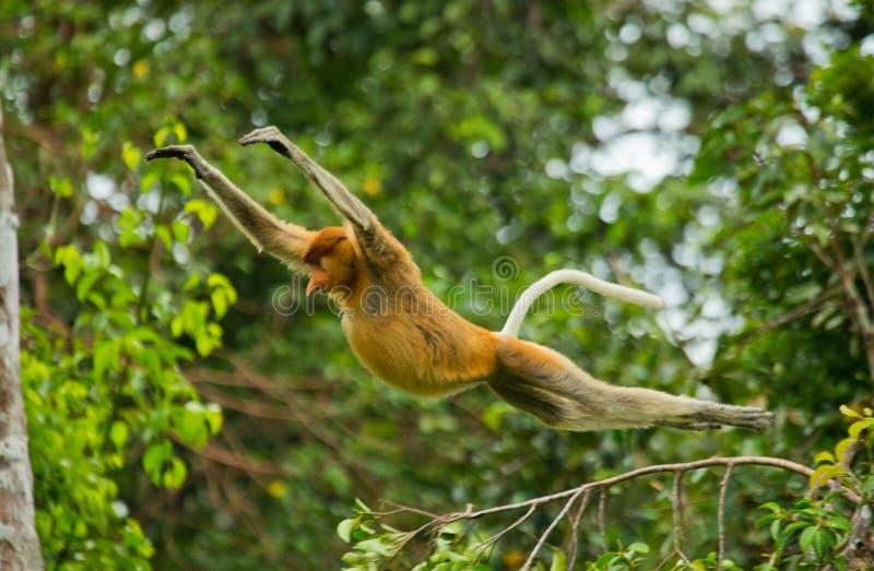 O macaco de probóscide está saltando da árvore à árvore na selva indonésia A ilha de Bornéu Kalimantan fotografia de stock royalty free
