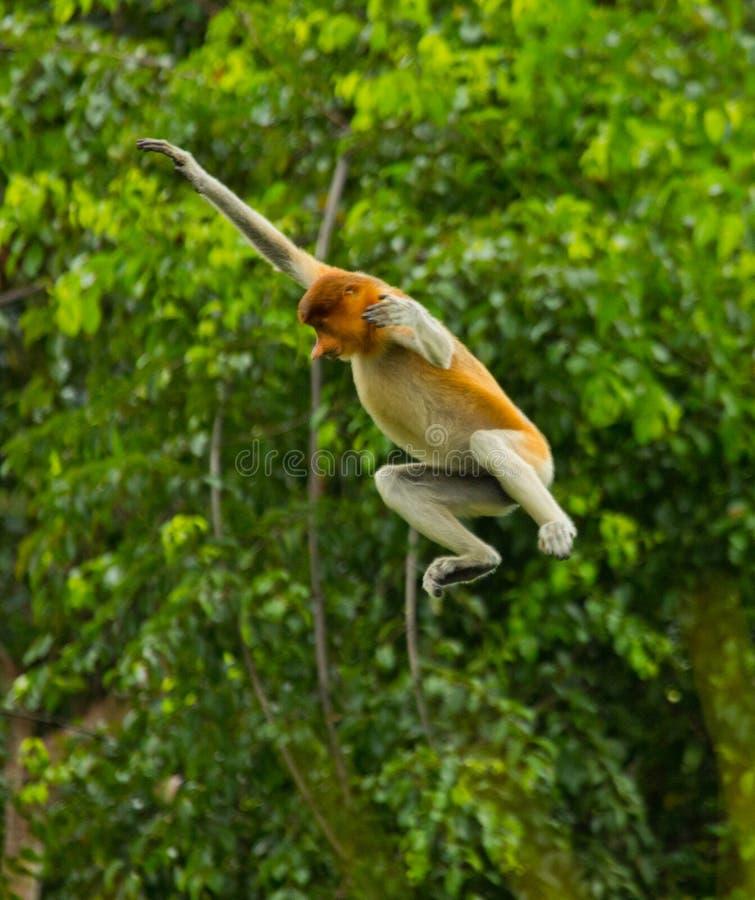 O macaco de probóscide está saltando da árvore à árvore na selva indonésia A ilha de Bornéu Kalimantan imagens de stock