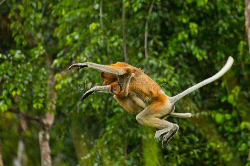 O macaco de probóscide fêmea com um bebê do salto da árvore à árvore na selva indonésia A ilha de Bornéu Kalimantan imagens de stock royalty free
