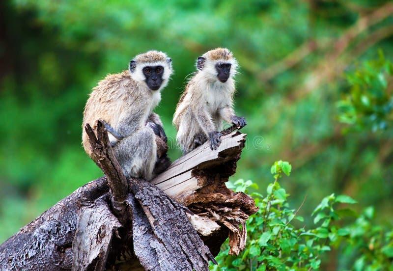 O macaco de vervet, lago Manyara, Tanzânia, África. fotos de stock