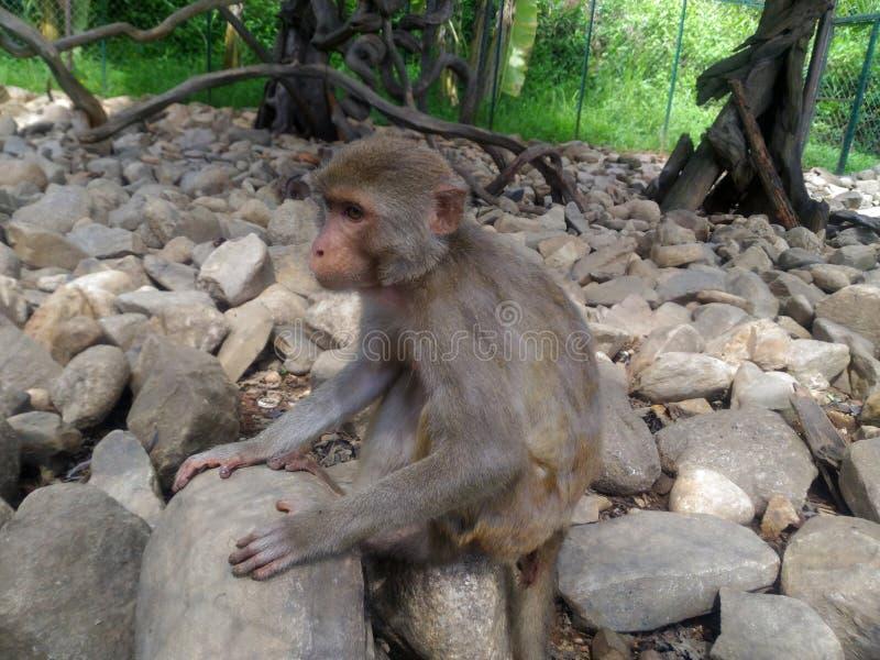 O macaco está sentando-se nas pedras imagem de stock royalty free