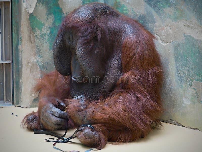 O macaco - fim acima no JARDIM ZOOLÓGICO imagem de stock