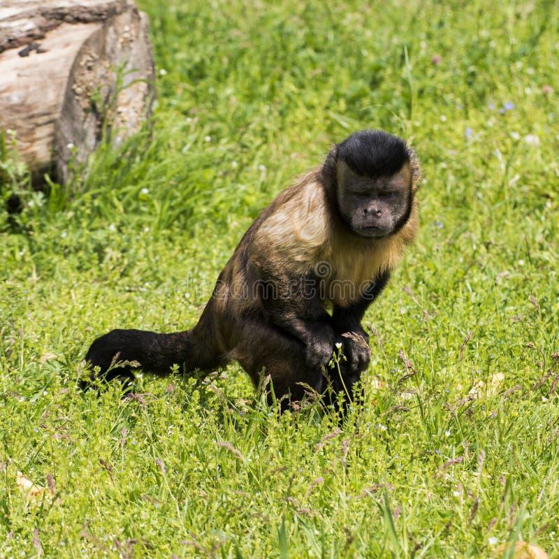 O macaco pequeno atraiu algo na terra fotografia de stock