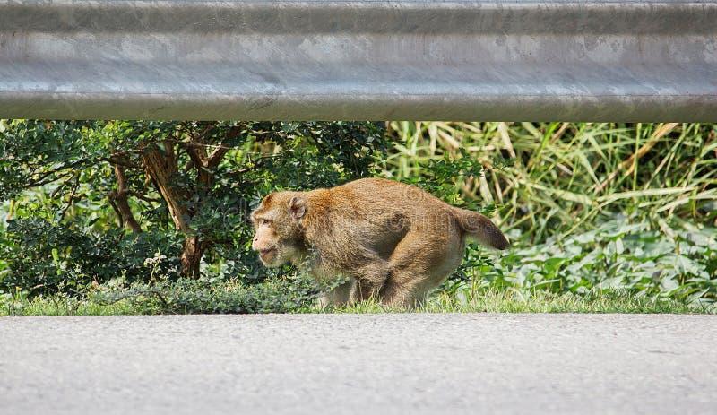 O macaco que as inabilidades têm um fundo de passeio do braço é freio fotografia de stock