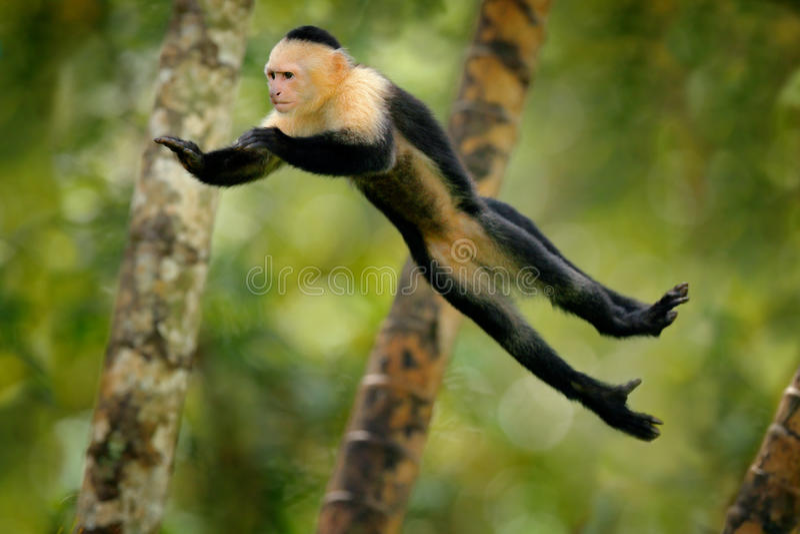 O macaco salta Mamífero na mosca O macaco preto de voo Branco-dirigiu o Capuchin, animal tropico no habitat da natureza, behav cô foto de stock royalty free