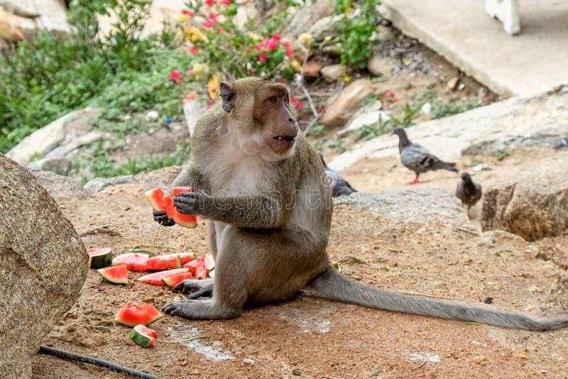 O macaco selvagem est? comendo a melancia perto do templo budista no parque nacional tail?ndia fotografia de stock royalty free
