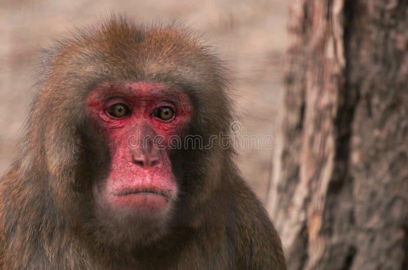 O macaco triste imagens de stock