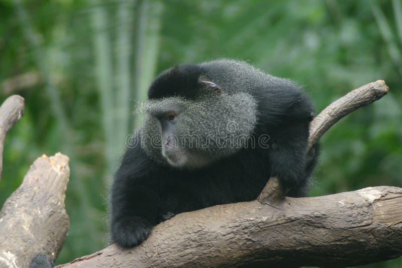 O macaco vê foto de stock
