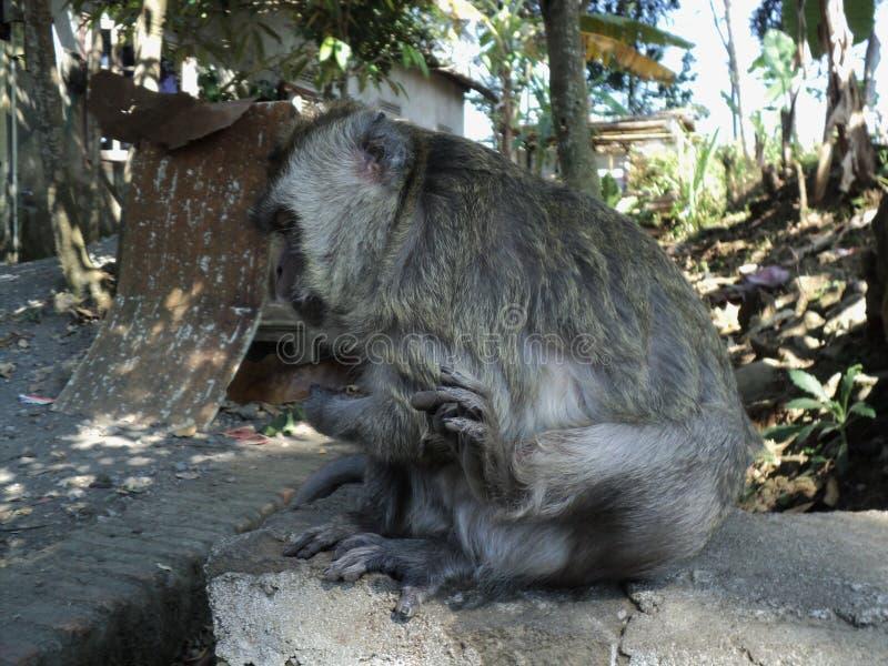 o macaco velho é sentar-se relaxado sob uma árvore imagem de stock royalty free