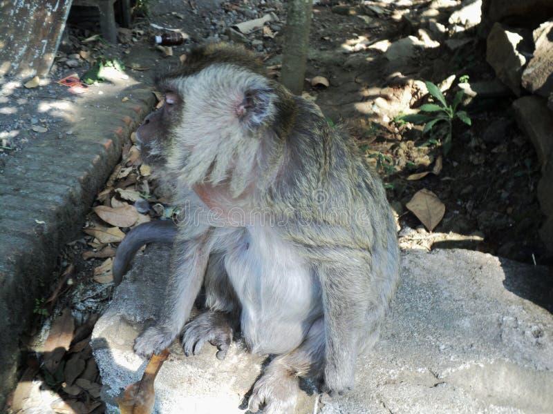 o macaco velho é sentar-se relaxado sob uma árvore fotos de stock
