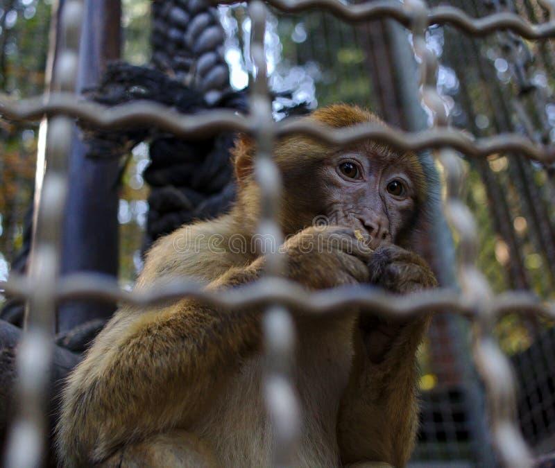 O macaque de Barbary atrás das barras come uma porca fotografia de stock