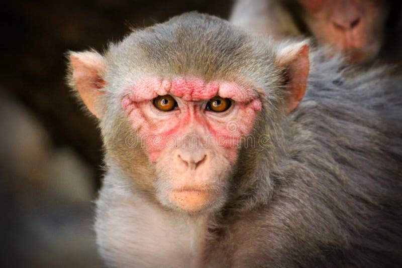 O Macaque do Rhesus imagem de stock royalty free