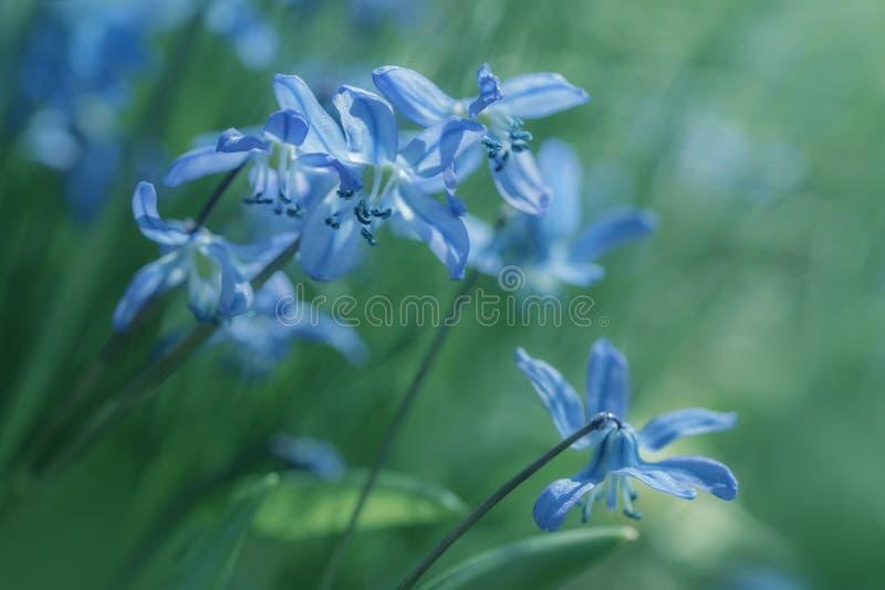 O macro da mola bonita floresce - o squill de madeira azul imagem de stock royalty free