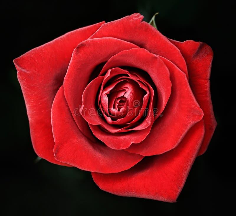 O macro de acima com o vermelho florescido levantou-se no preto imagem de stock royalty free
