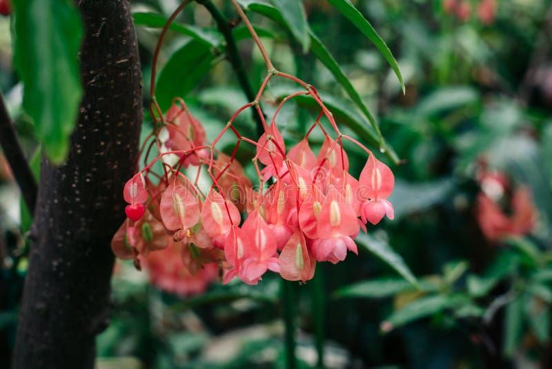 o macro de carmesins vermelhos floresce a begônia no ramo de árvore com folhas verdes imagem de stock royalty free