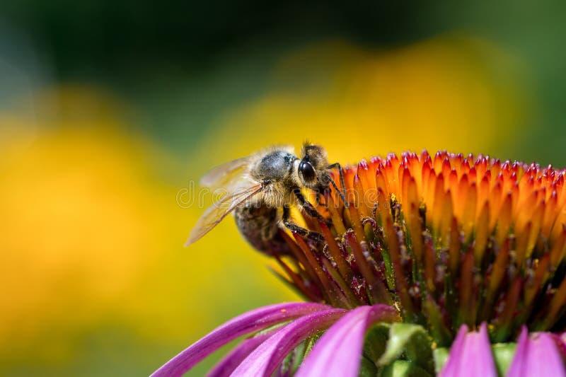 O macro do close-up de uma abelha do mel recolhe o néctar em um cone-f roxo imagem de stock royalty free
