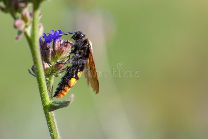 O maculata gigantesco de Megascolia da vespa imagens de stock royalty free