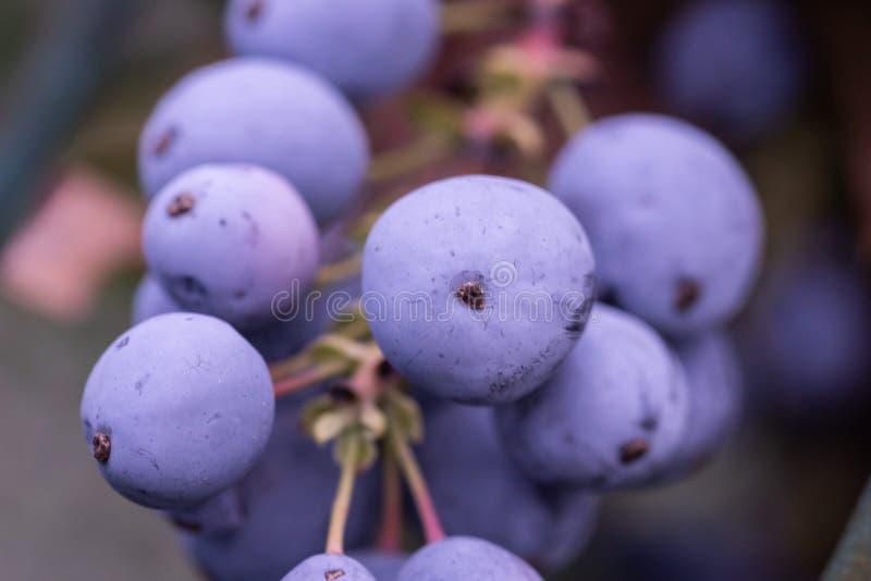 O Mahonia, uva de oregon frutifica grupo roxo que cresce, com folhas verdes imagem de stock royalty free