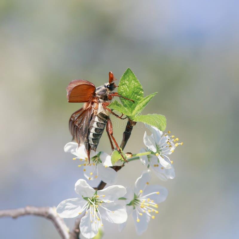 O maio-besouro do inseto voa acima de espalhar suas asas de um ramo de uma ?rvore de cereja de floresc?ncia no jardim contra um c fotografia de stock royalty free