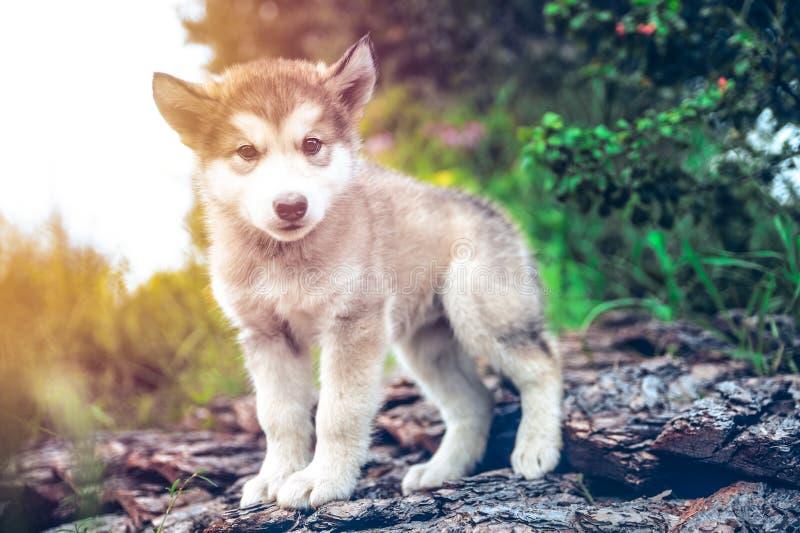 O malamute do Alasca do cachorrinho bonito corre no jardim da grama imagens de stock