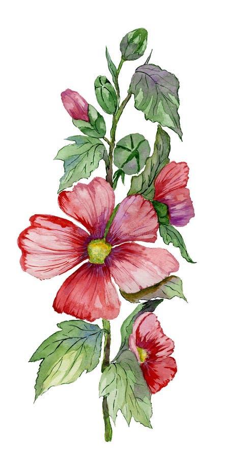O malva vermelho floresce em uma haste com folhas e os botões verdes Malvas frescas isoladas no fundo branco Pintura da aguarela ilustração royalty free