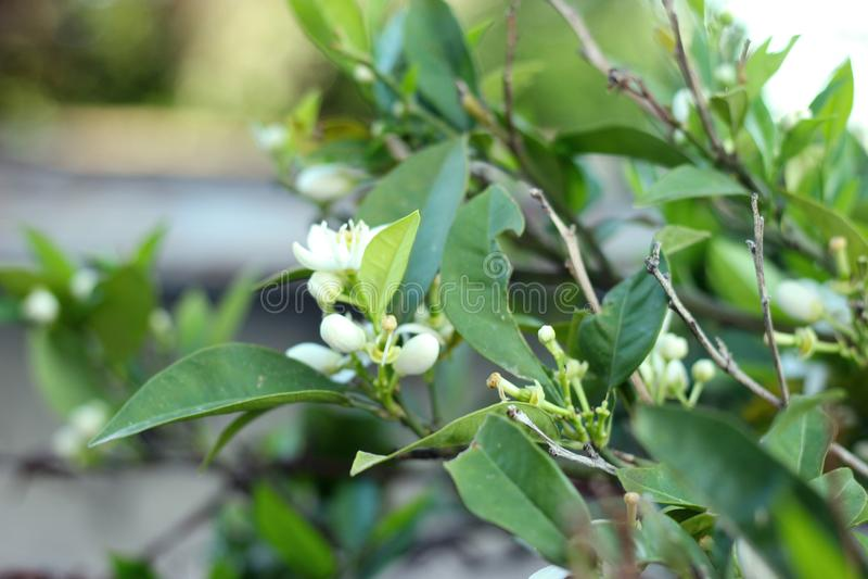 O mandarino de florescência, árvore alaranjada Ramo com folhas, fotografia do close up das flores imagens de stock royalty free