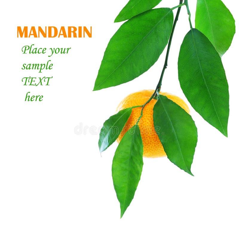 O mandarino fresco maduro imagens de stock royalty free